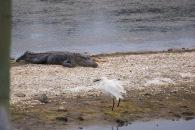 Brave Egret