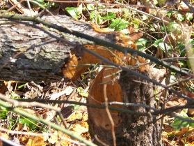 Beaver chew.
