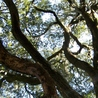 Oak on Fort Fisher