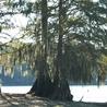 Santee Cypress