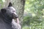Bear tounge (1280x853)