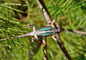 Western-fence-lizard-blue-belly