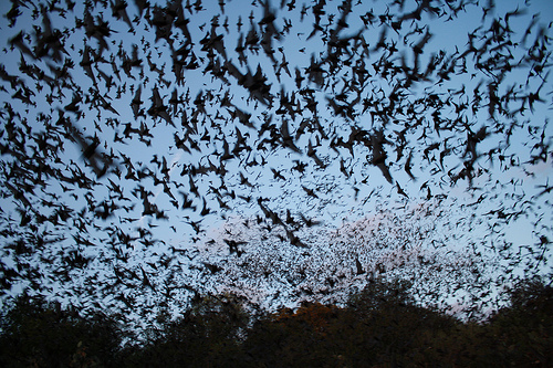 Working the Night Shift – Bats Play an Important Role in Pollinating Crops (1/2)