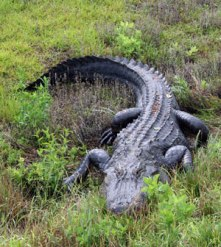 alligator-photo
